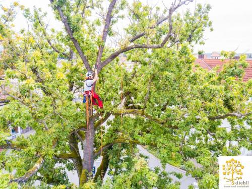 Projekt-15-Baumpflege-Bismarkplatz-5